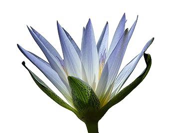 Tropische violette Seerose Nymphea für den Gartenteich Samen .. Guter Filter