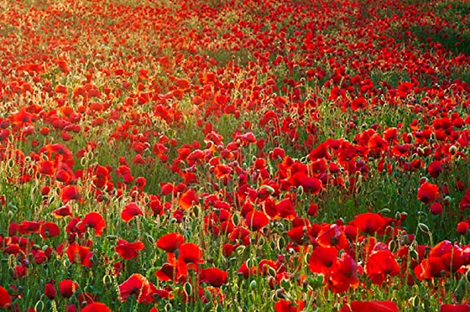 Greek Heirloom Original Field Poppy /'/'Papaver Rhoeas/'/' ~1000 Top Quality Seeds