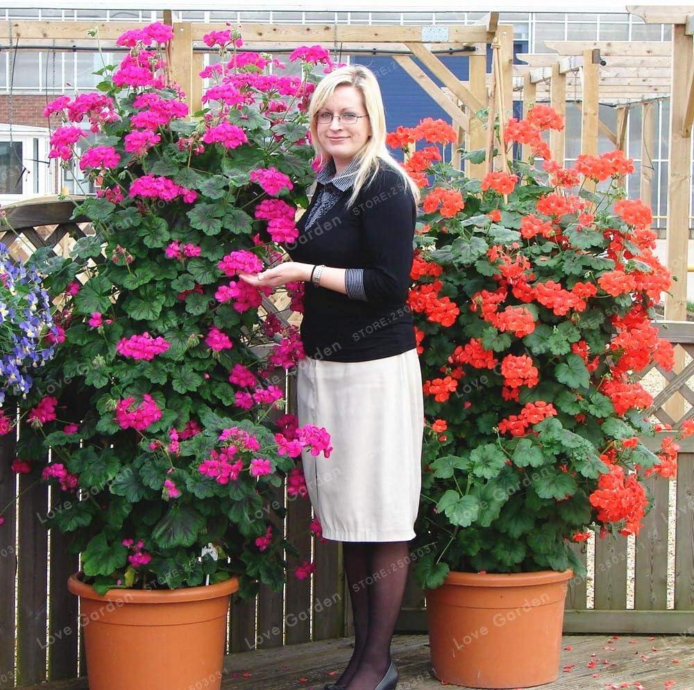 100 pcs//bag bonsai climbing geranium seed courtyard /& rare potted flower seeds