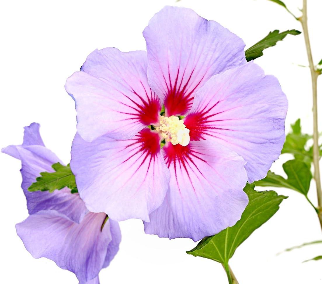 Dehner HibiscusBlue Chiffon ca Zierstrauch / lavendel-farbene Bl/üten 40-60 cm