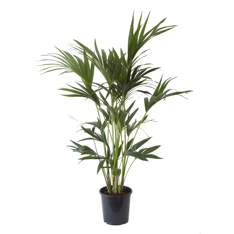 Choice of Green – 1 Howea Fosteriana Kentiapalm – Planta interior ...