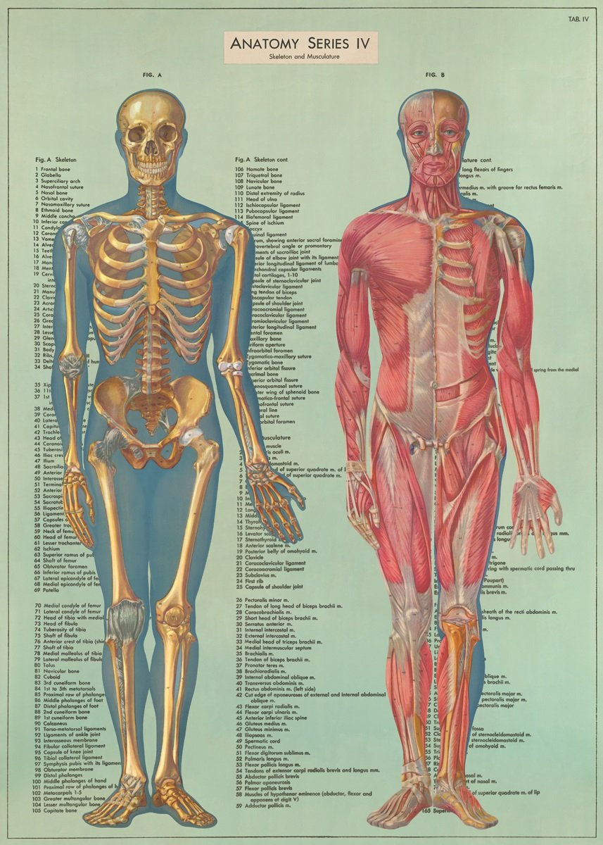 amazon com cavallini u0026 co anatomy series poster wrapping paper sheet