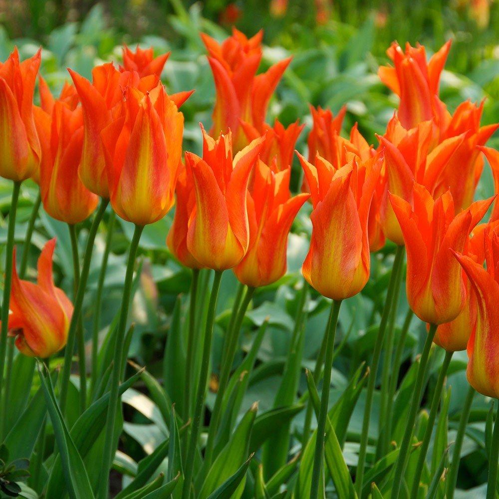 Humphreys Garden Tulip Ballerina x 30 Bulbs Size 10/11 Humphreys Garden®
