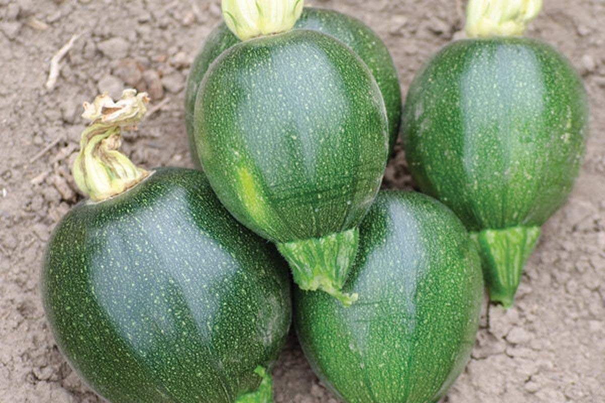 Black Ball F1 Hybrid Summer Squash Seeds (25 Seed Pack)