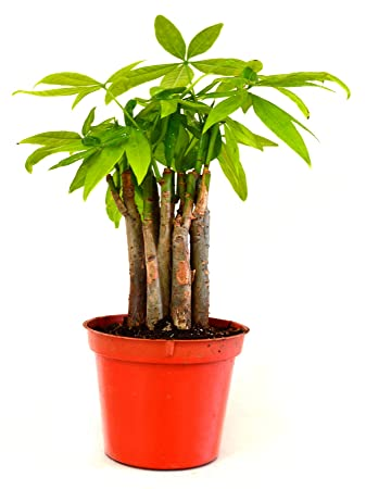 9GreenBox - Money Tree Plants Prefect Indoor House plant Cute 3.25