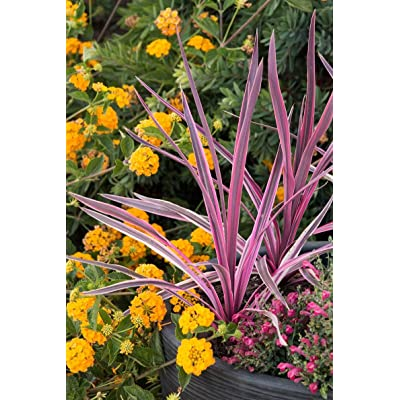 AchmadAnam - Live Plant - Electric Pink Codyline - 1 Plant - 1 Feet Tall - Ship in 1 gal Pot. E9 : Garden & Outdoor