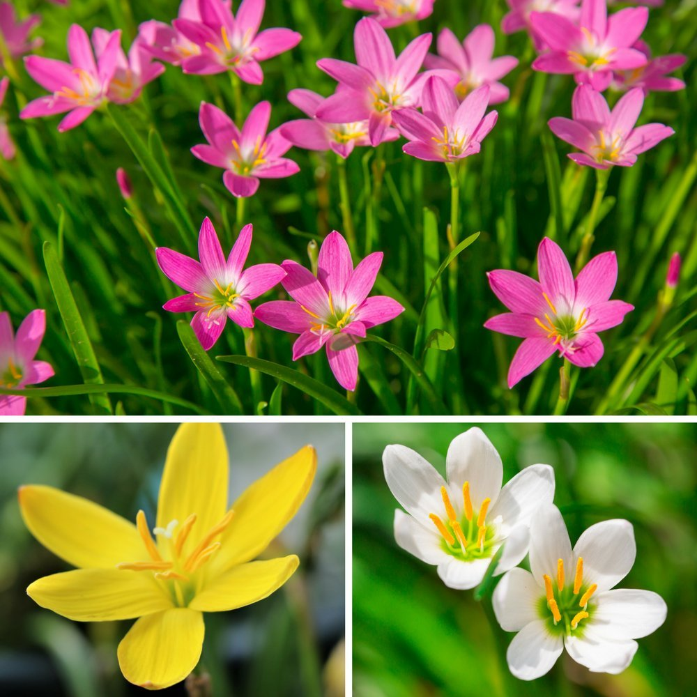 Amazon Pink Rain Lily Bulbs Zephyr Lilies Zephyranthes