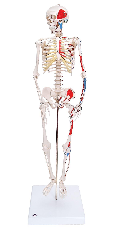 """3B Scientific A18/5 Modelo de anatomía humana Mini esqueleto """"Shorty"""" Con Músculos Pintados, Sobre Sopor + software de anatomía gratuito - 3B Smart Anatomy"""