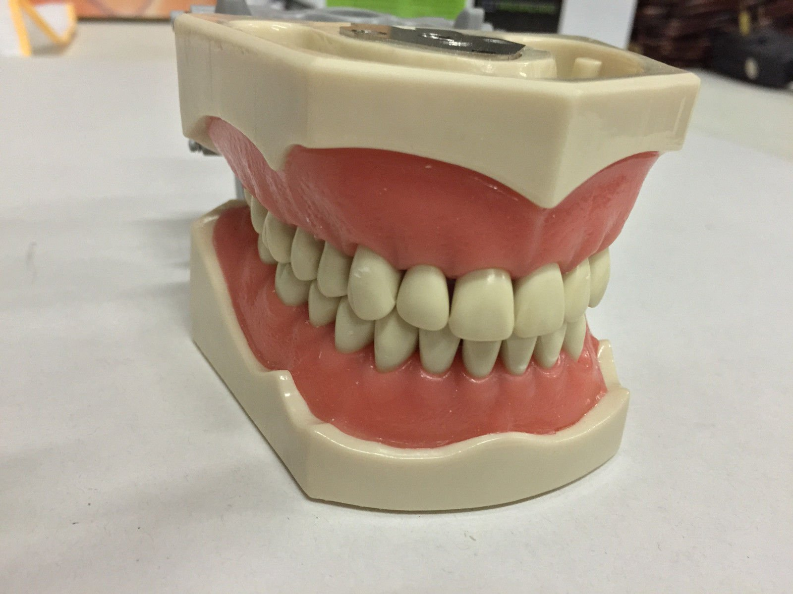 Dental Anatomy Typodont Educational Model 860 with Removable Teeth