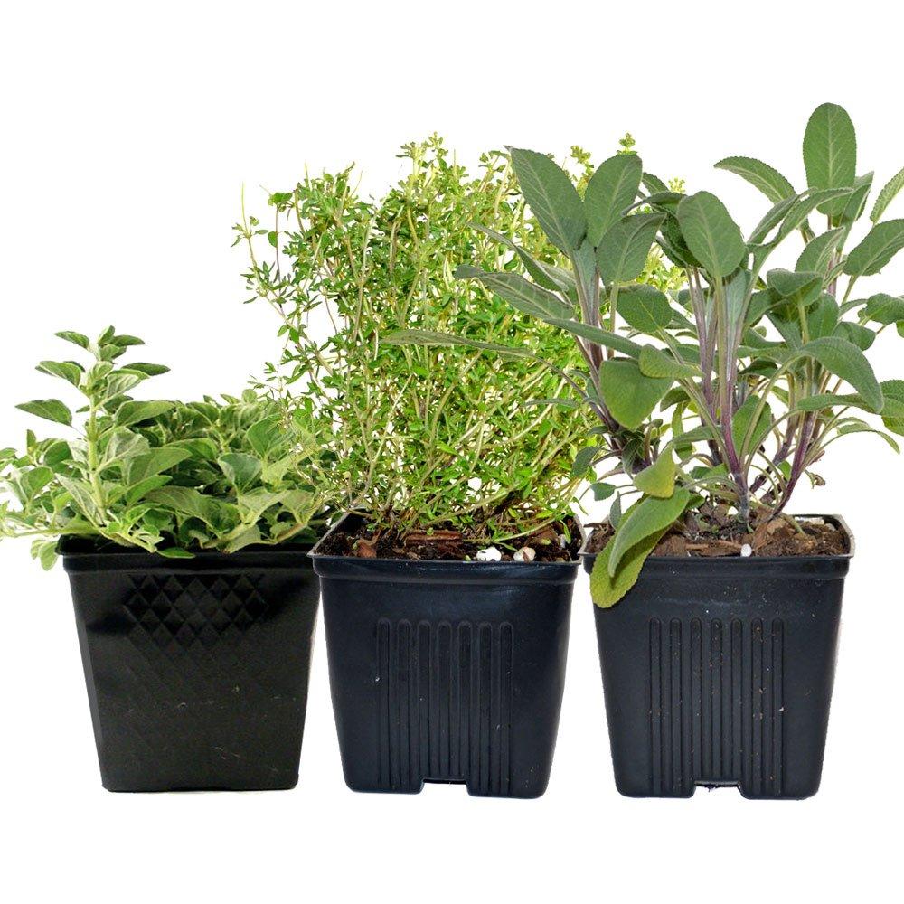 Thyme, Oregano & Sage Plants Set of 3 Organic Non GMO Stargazer Perennials