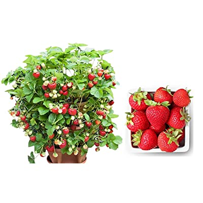 Container Strawberry 315 Seeds + 1 Free Plant Marker - Delicious, Low-Maintenance : Garden & Outdoor