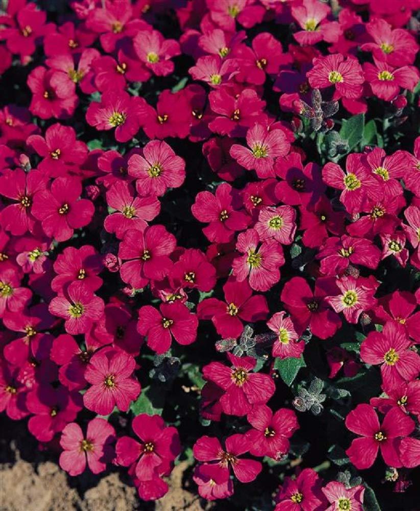 AUBRIETIA GRACILLIS - Rock CRESS - Royal RED - 0.15 Gram ~ Approx 300 Seeds