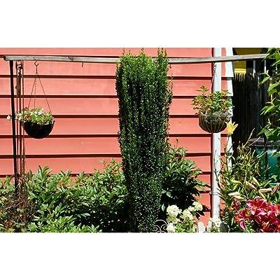 Sky Pencil Holly 2 Plants BGV05 : Garden & Outdoor