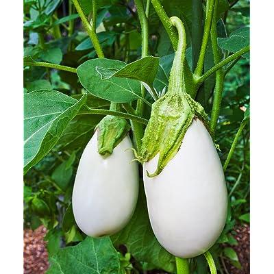 David's Garden Seeds Eggplant Clara SL2615 (White) 50 Non-GMO, Hybrid Seeds : Eggplant Plants : Garden & Outdoor