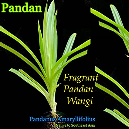 Amazon.com: ~ fragante Pandan ~ Unique Spice Plant Pandanus ...