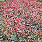 Brand New! Forest seed seed Photinia Red Robin heather tree leaves hedge real locations 200g / Pack seeds of hope