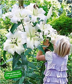 Baldur Garten Tree Lily Pretty Woman 3 Zwiebeln Baumlilien Lilium