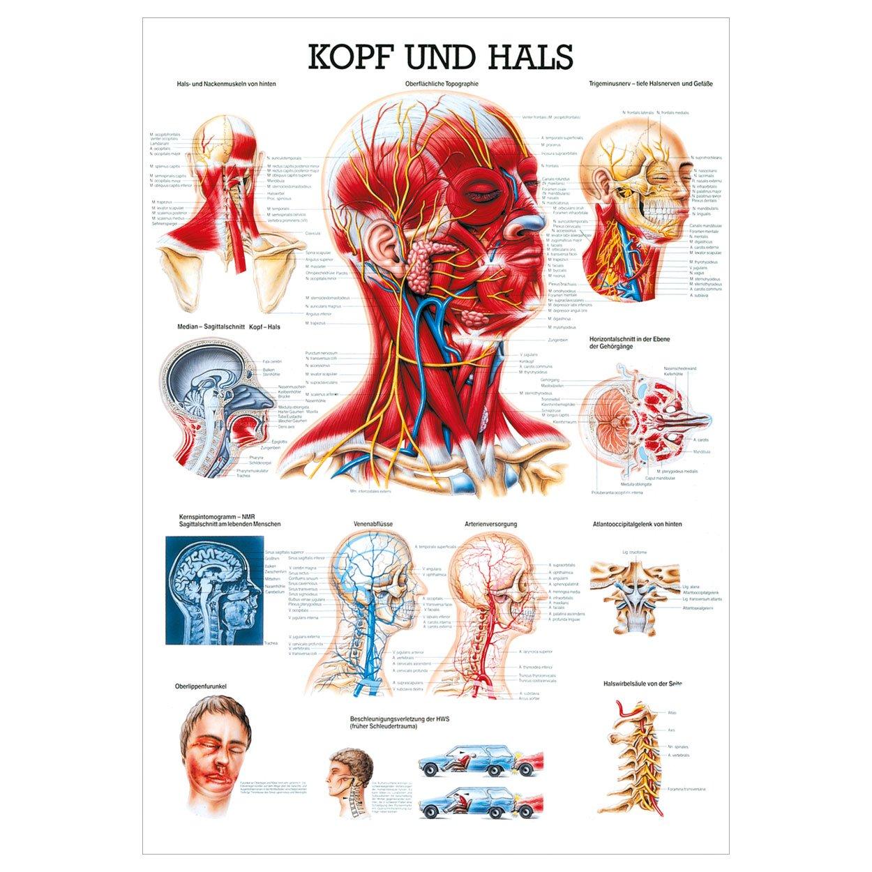 Kopf und Hals Lehrtafel Anatomie 100x70 cm medizinische Lehrmittel ...