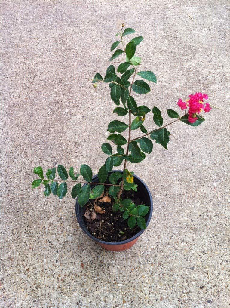6 Pack - Arapaho - Red Flowering Crape Myrtle Trees - Lagerstroemia by CrapeMyrtleGuy (Image #3)