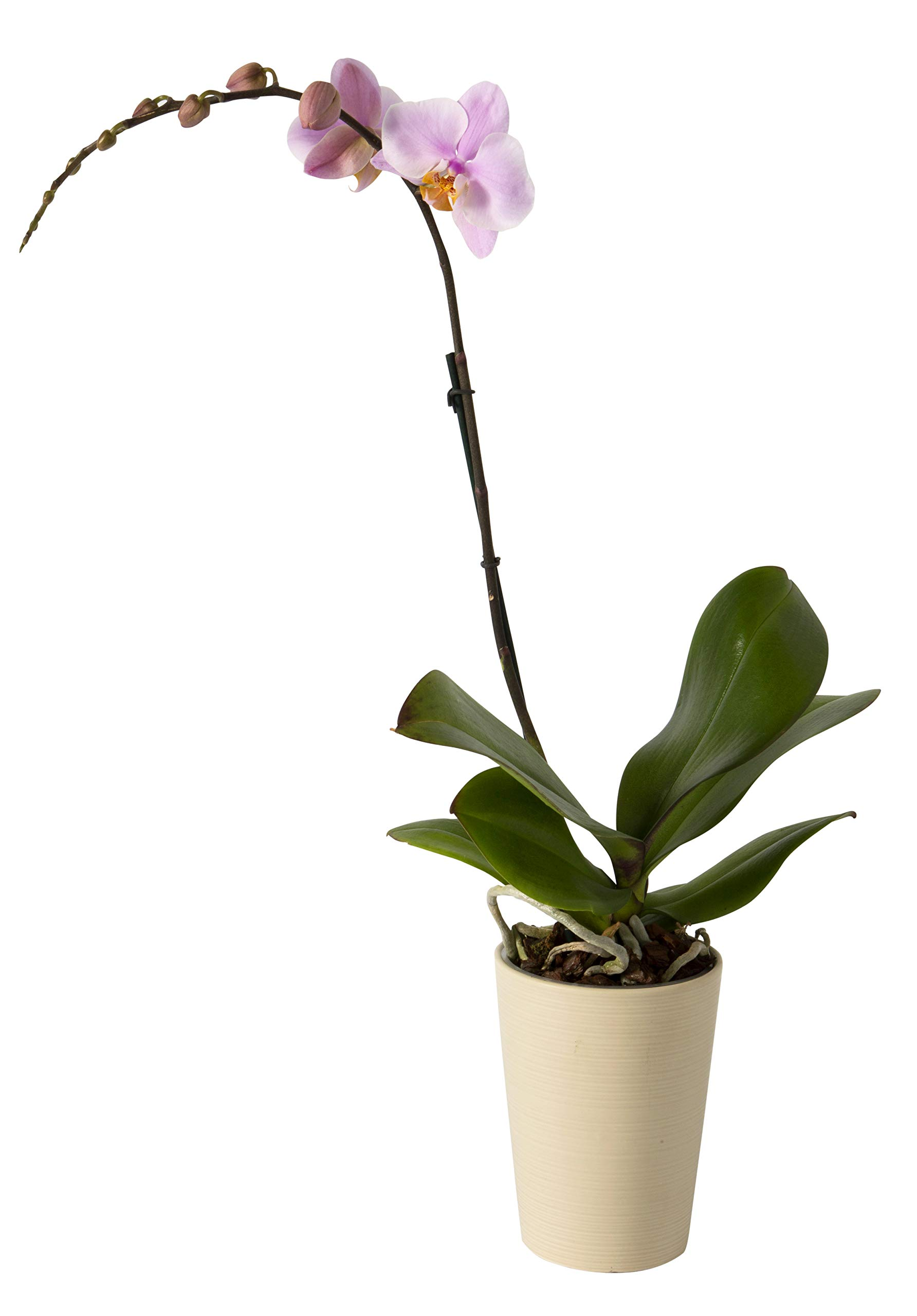 Color Orchids Live Blooming Single Stem Phalaenopsis Orchid Plant in Ceramic Pot, 20''-24'' Tall, Pink Blooms