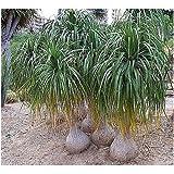 Nolina recurvata (syn: Beaucarnea recurvata) - Flaschenbaumlilie - Elefantenfuss - 10 Samen