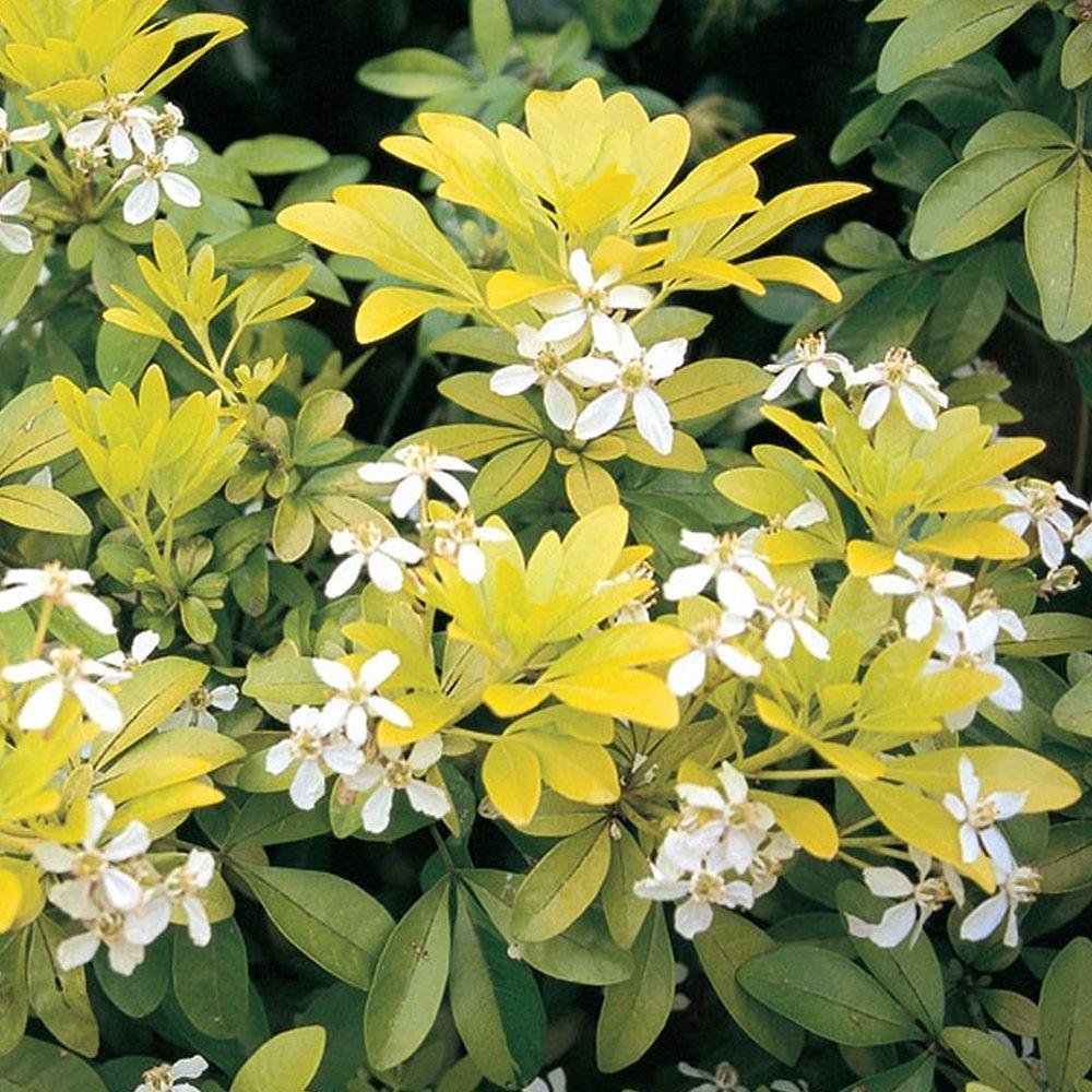 1 X CHOISYA 'SUNDANCE' MEXICAN ORANGE EVERGREEN HARDY SHRUB PLANT IN POT Gardener's Dream