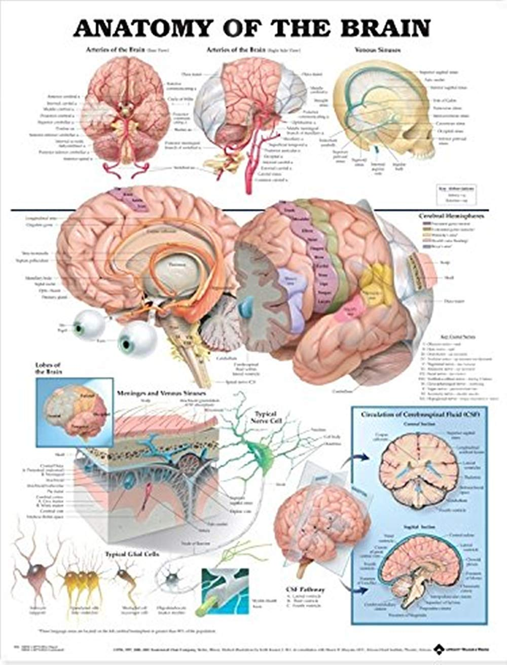 Human Brain Anatomical Poster Physiology Chart Of Brain Silk