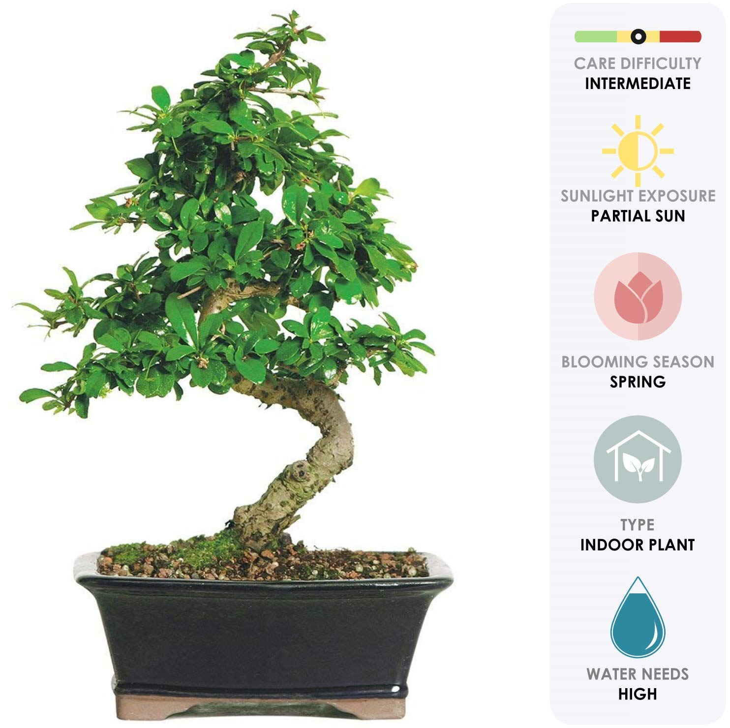 Brussel's Bonsai Live Fukien Tea Indoor Bonsai Tree - 6 Years Old; 6'' to 10'' Tall with with Decorative Container, by Brussel's Bonsai