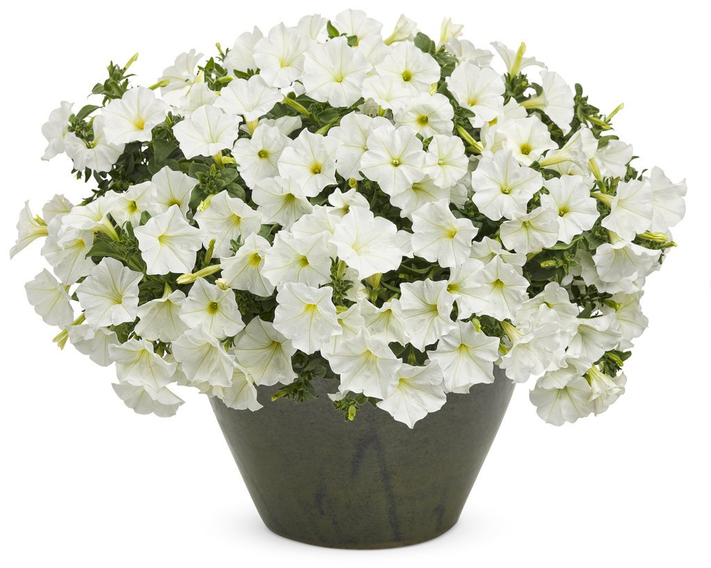 Creative Farmer Flower Seeds Petunia Snowball White Flower Seeds