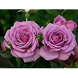 """Lavender Veranda Rose Bush - Fragrant/Hardy - 4"""" Pot"""
