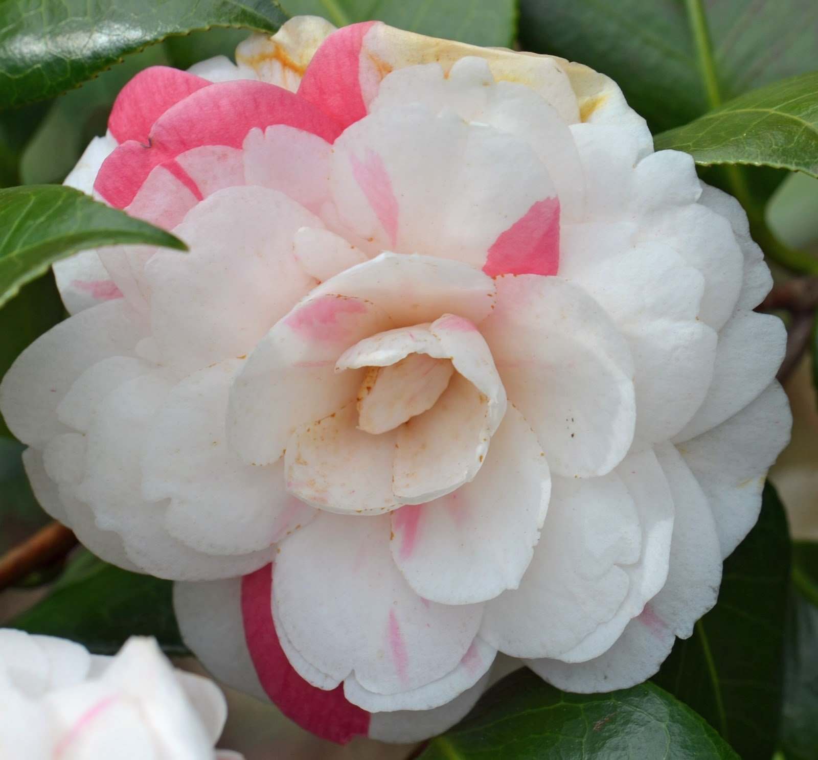 April Dawn Camellia Japonica ( Zone 6 ) - Live Plant - Quart Pot by Amazing Plants
