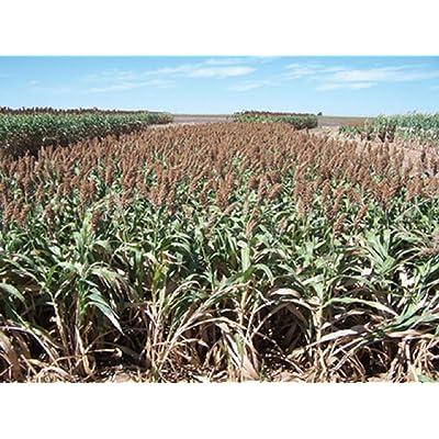 Super Sugar Hybrid Sorghum Sudangrass Seeds - Non GMO - 50-1000 Seeds (50) : Garden & Outdoor