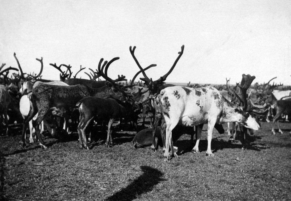Herd of Reindeerアラスカ州の写真 36 x 54 Giclee Print LANT-2722-36x54 B01MG36JCE  36 x 54 Giclee Print
