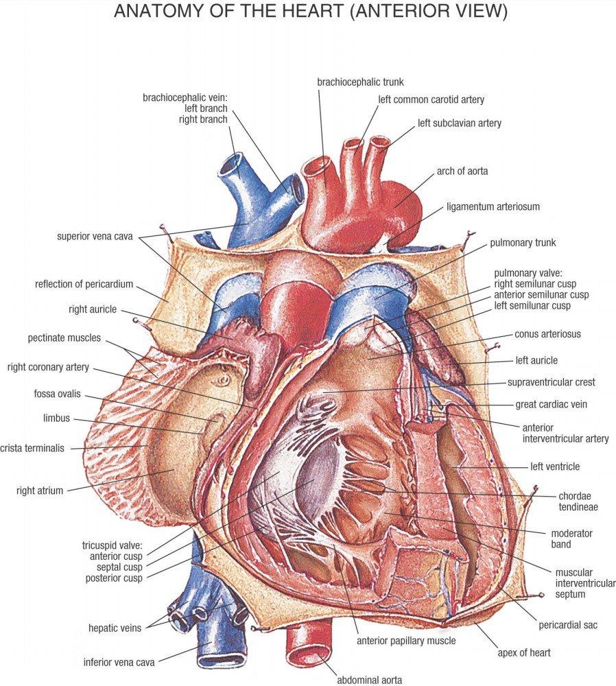 Amazon Der Museum Steckdose Charts Von Hb Anatomie Herz A3