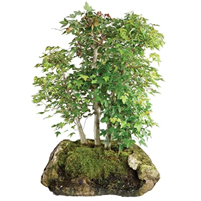 "Brussel's Live Trident Maple Specimen Outdoor Bonsai Tree - 45 Years Old; 23"" Tall with Decorative Container: Garden & Outdoor"