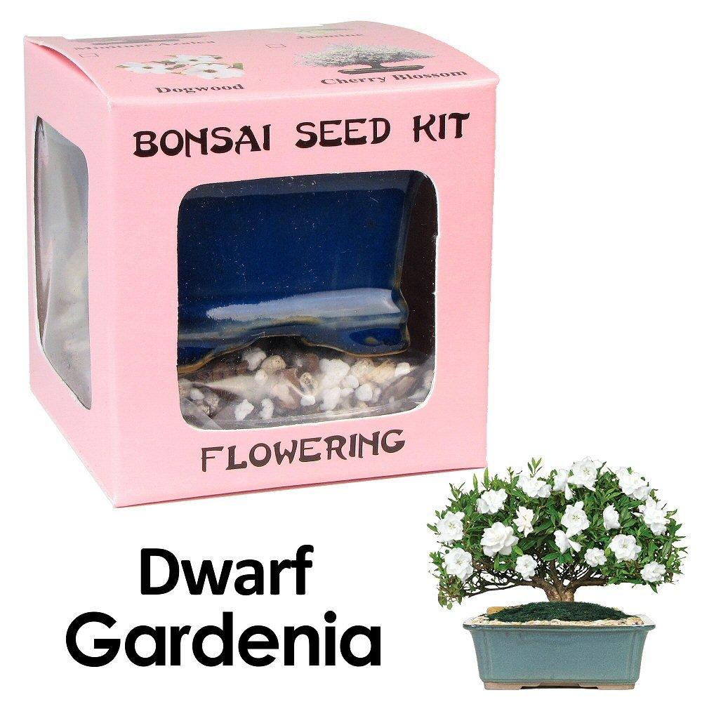 Eve's Dwarf Gardenia Bonsai Seed Kit, Flowering, Complete Kit to Grow Dwarf Gardenia Bonsai from Seed (vase styles vary)
