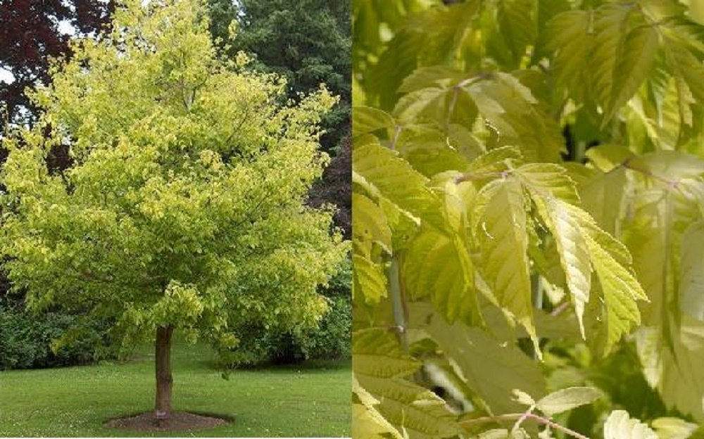 Acer Negundo Kelly's Gold Maple Tree 6-7 FT Supplied in a 7.5 Litre Pot Direct Plants