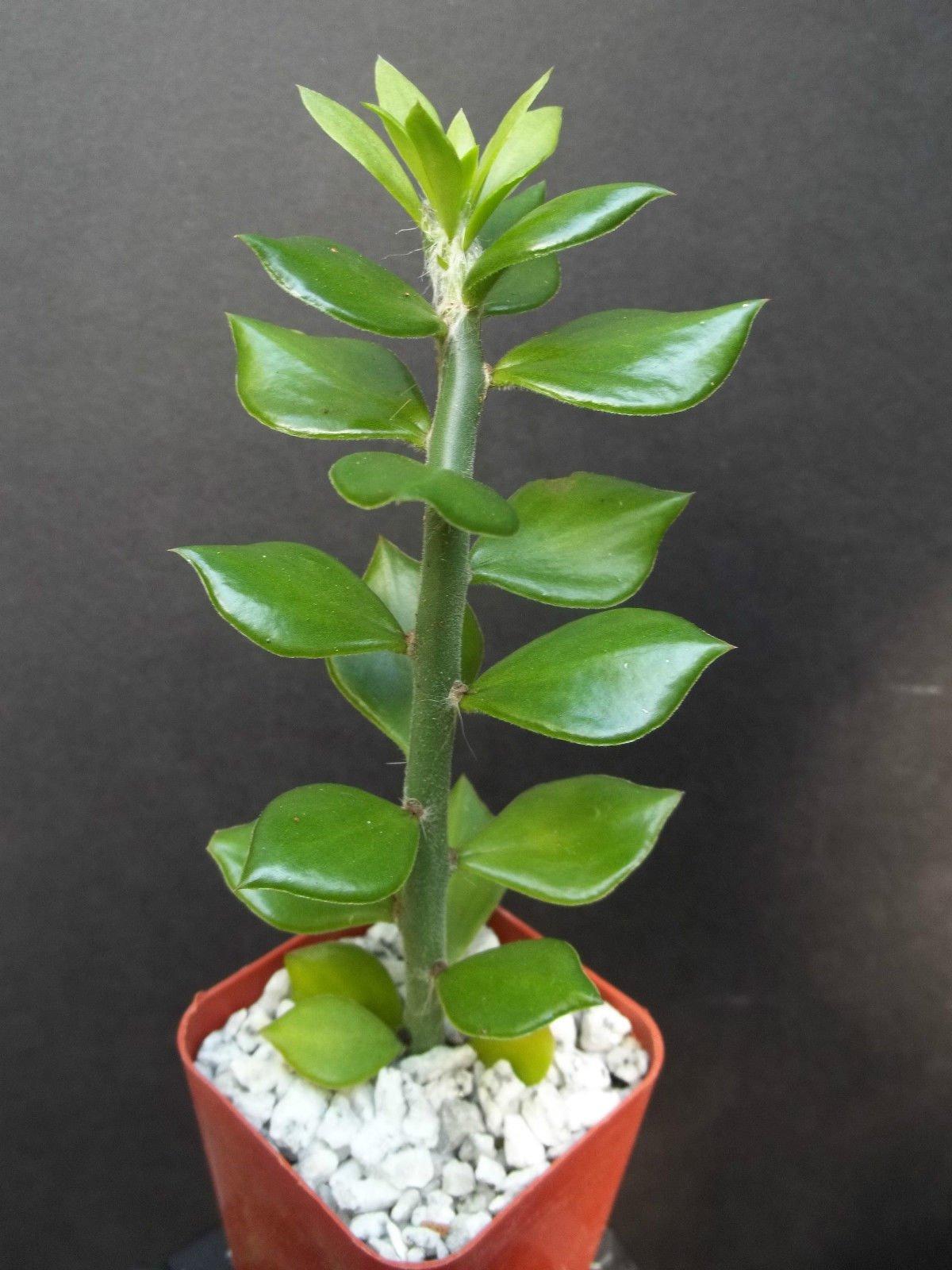 Pereskiopsis Spathula, grafting stock cactus rare graft leaf cacti 5 plants 4''
