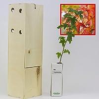 LIQUIDAMBAR. Arbolito de pequeño tamaño en caja de madera. Alveolo forestal. (1)