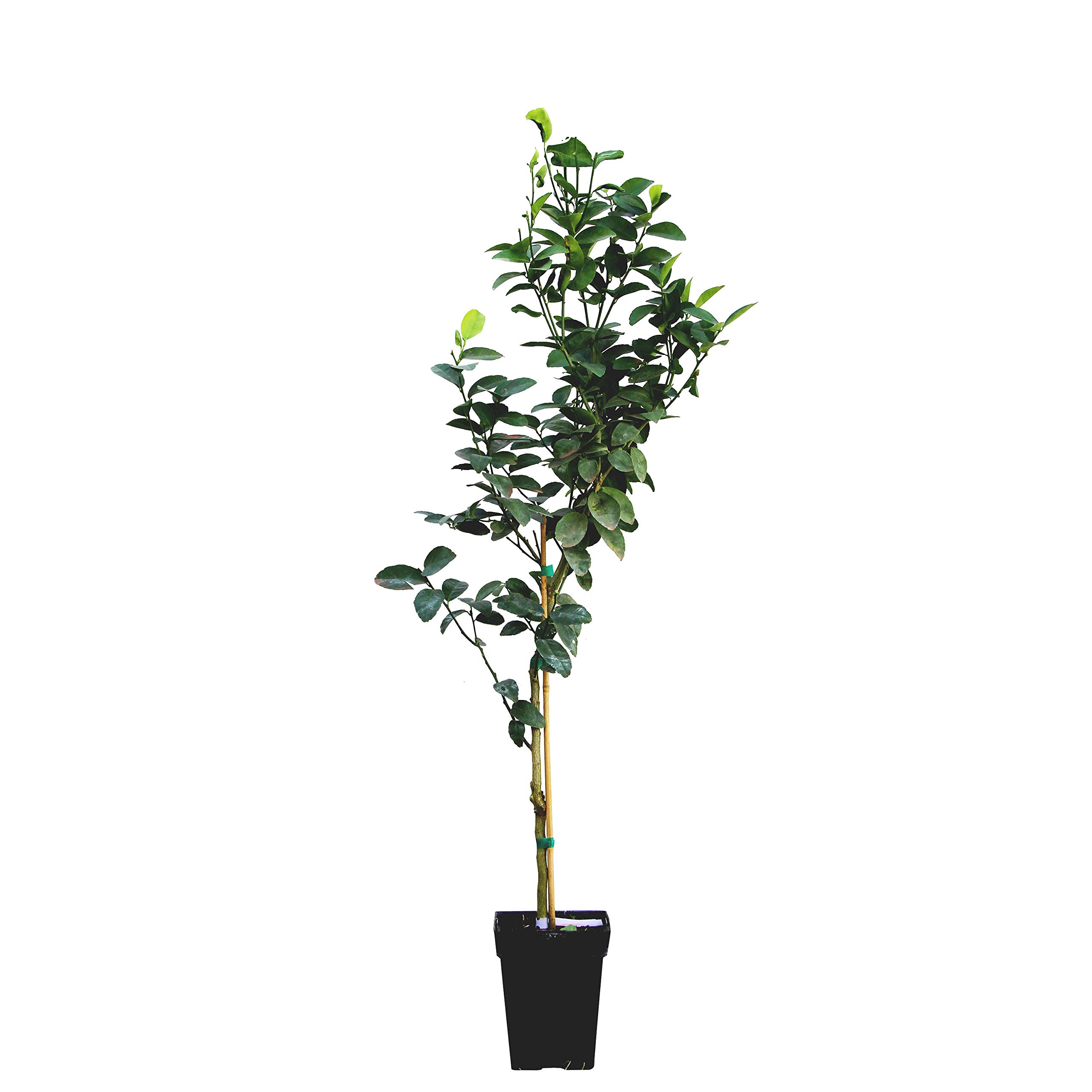 Key Lime Tree - Dwarf Fruit Trees - Indoor/Outdoor Live Potted Citrus Tree - 3-4 ft. Tall Trees - Cannot Ship to FL, CA, TX, LA or AZ