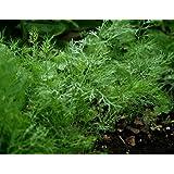 Dill Herb Seeds- Bouquet- Organic- 1,300+ Seeds