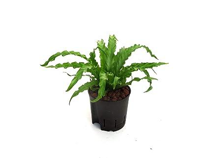 BOTANICLYZimmerpflanzeNestfarn in HydrokulturAsplenium antiquum Osaka