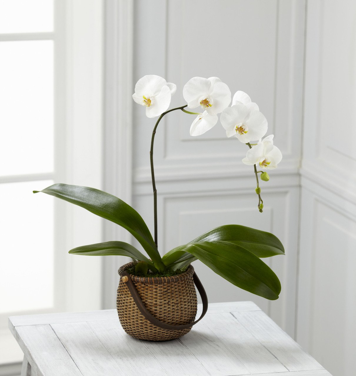 White Phalaenopsis Orchid - Fresh Flowers Hand Delivered in Albuquerque Area