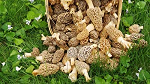Morel Mushroom Spores in Sawdust Bag Garden Mushrooms Spore Grow Kit Makes 5 gal