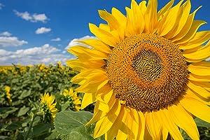 Grey Stripe Mammoth Sunflower Flower Seeds, 50 Heirloom Seeds Per Packet, Non GMO Seeds