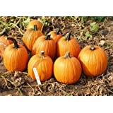 Premier Seeds Direct ORG084 Pumpkin Howden Organic Seeds (Pack of 20)