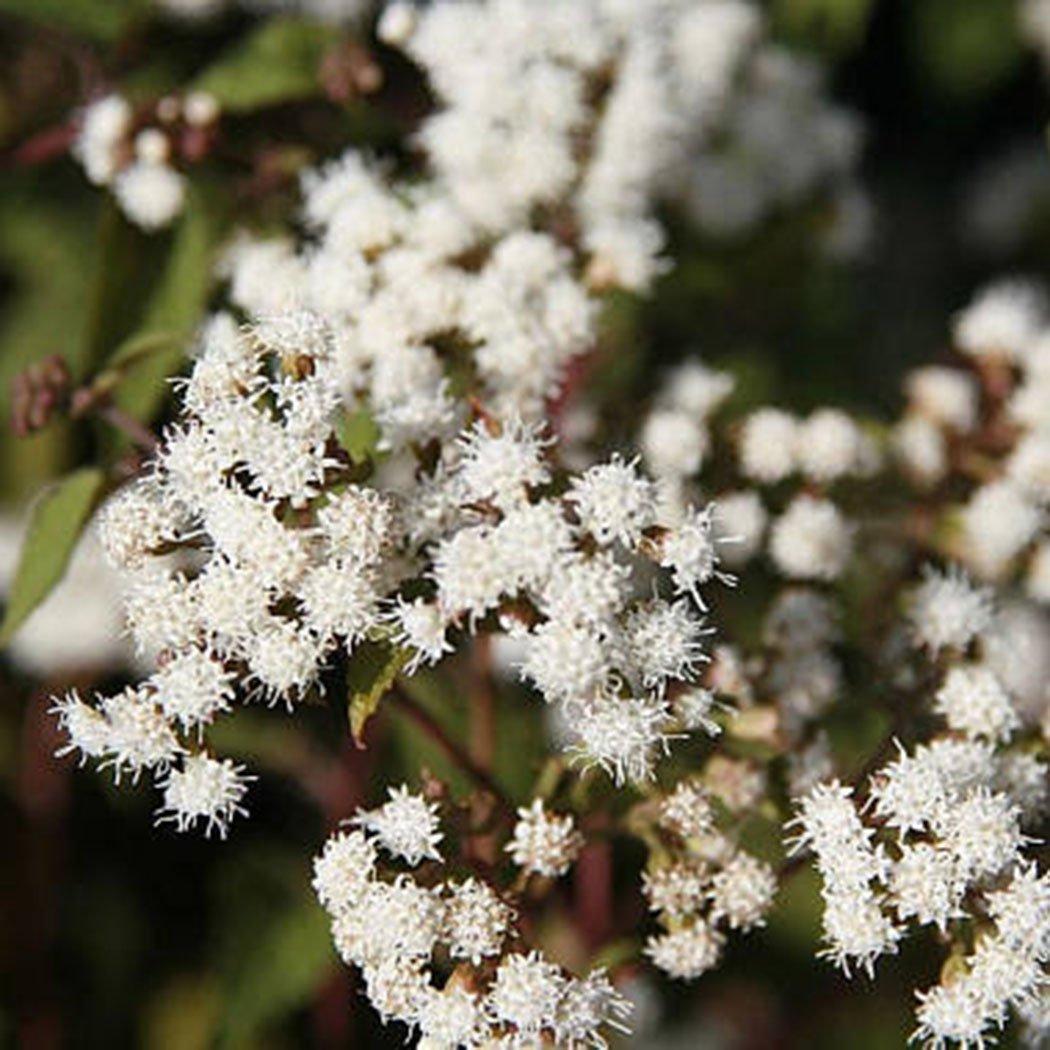 Teaio Grass Seeds Perennial Garden Plant Seeds Joe Pye Weed Flower Boneset Seeds 50PCS//Bag