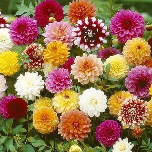Dahlia Flower Seeds 30+ Semillas de flores gigantes Semillas mixtas coloridas para el hogar/jardín/exterior/patio/plantación agrícola: Amazon.es: Jardín