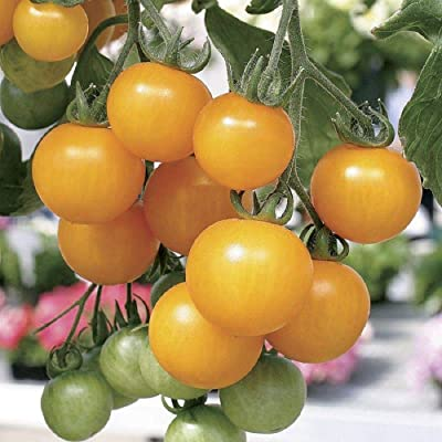Tumbling Tom Yellow Tomato Seeds (25 Seeds) : Garden & Outdoor