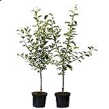 Grüner Garten Shop 2er Set: Roter Boskoop + Jonagold Apfelbaum Buschbaum 150-175 cm Unterlage M7 + 1 x Dünger
